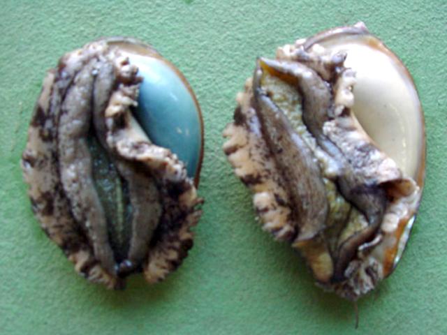 アワビ 採卵 雄と雌