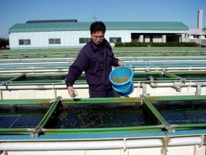アワビ屋外水槽 飼育水槽 配合飼料の給餌