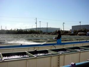 アワビ屋外水槽 飼育水槽 飼育水槽の洗浄