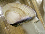 ハマグリ 採卵 雌の産卵