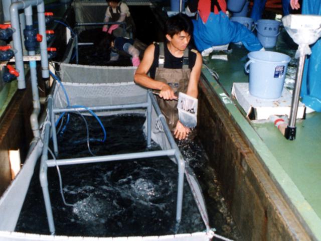 ヒラメ 種苗生産 取り上げ