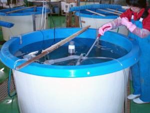 マコガレイ 種苗生産