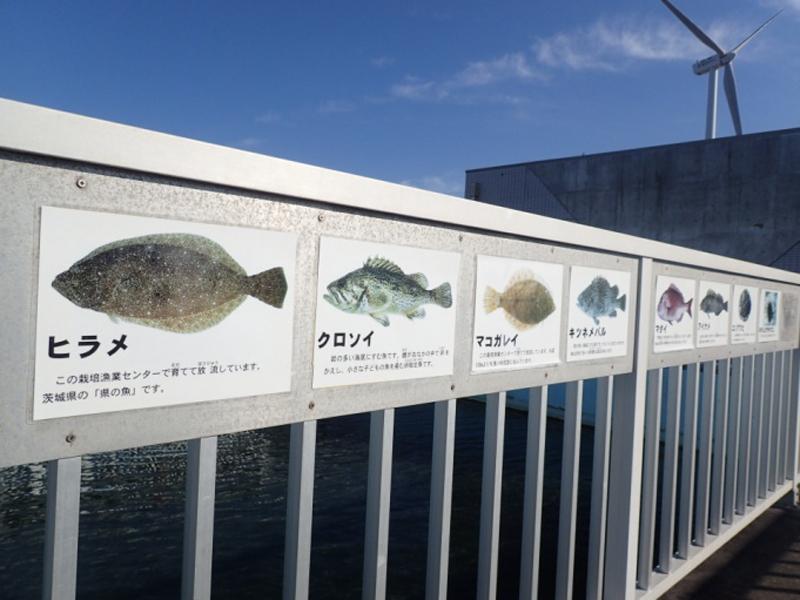 展示池ヒラメ、マコガレイ、クロソイ(成魚)